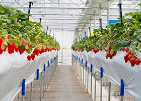 軽井沢ガーデンファームのイチゴのご注文受付開始!